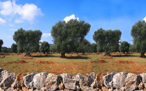 Puglia olive oil